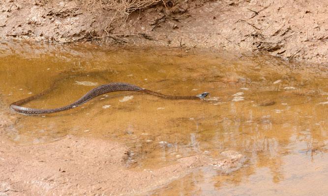 Ce même cobra d'Afrique du Nord (Naja haje legionis) nage parfaitement... ©Michel AYMERICH