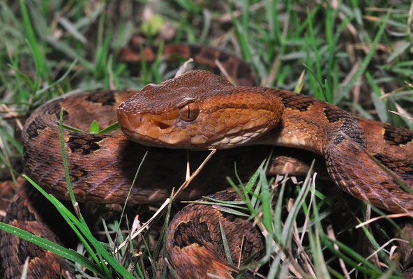 Protobothrops mucrosquamata. Venomous!  Octobre 2012 ©Michel AYMERICH