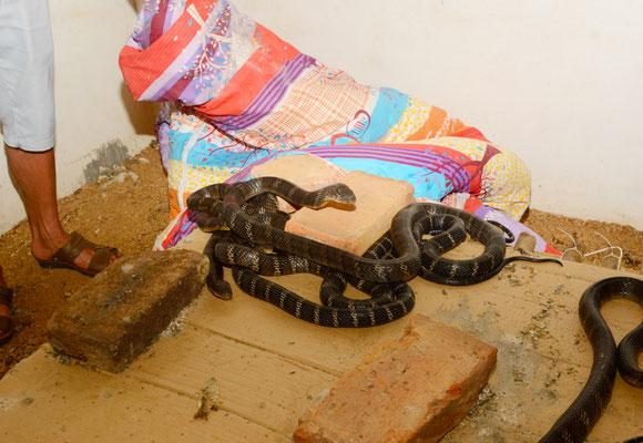 Elevage de cobras royaux à Luzhai près de Liuzhou (GUANGXI) ©Michel AYMERICH