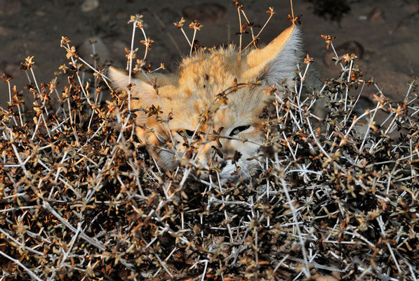 Chat du désert (Felis margarita) @Michel AYMERICH