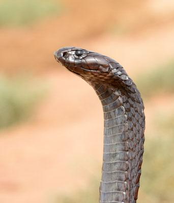 Cobra d'Afrique du Nord (Naja haje legionis) de profil. Région de Tan-Tan ©Michel AYMERICH