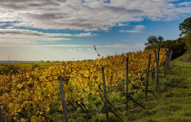 Goldener Weinberg in Deidesheim/Forst