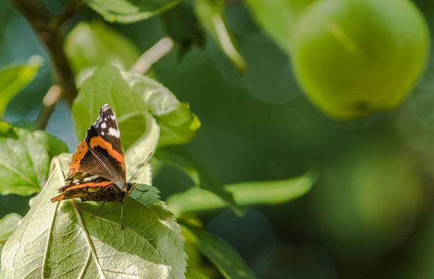 Schmetterling neben Apfel