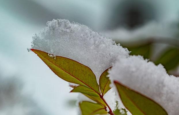 Tragende Blätter_Schneekristalle