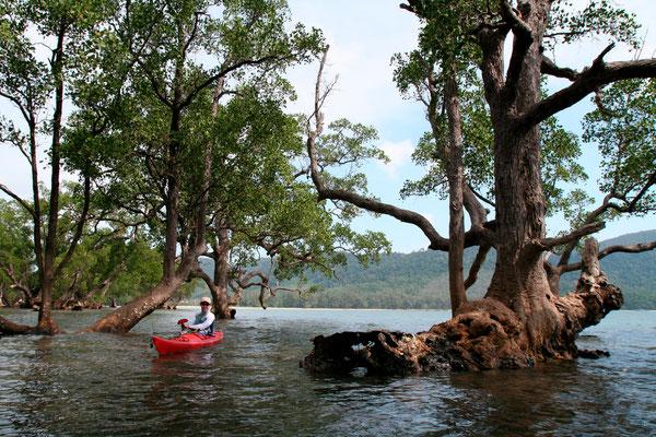 Dans la Mangrove (Thaïlande)