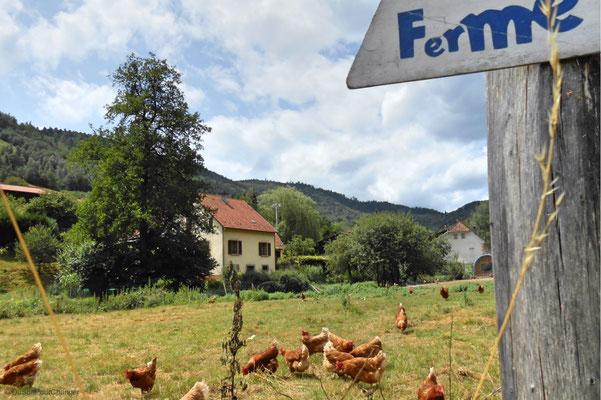 Elevées en plein air, les poules de la ferme Humbert