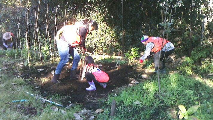 サツマイモの収穫作業