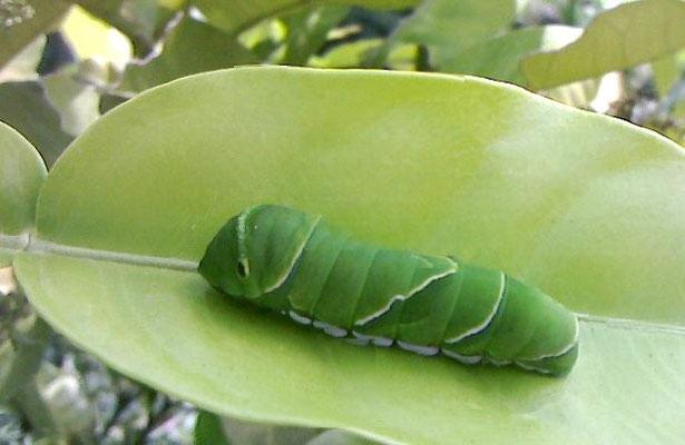 蝶の幼虫も元気です(アゲハチョウかな?)