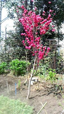 花桃(紅)