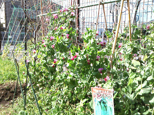 エンドウの赤い花