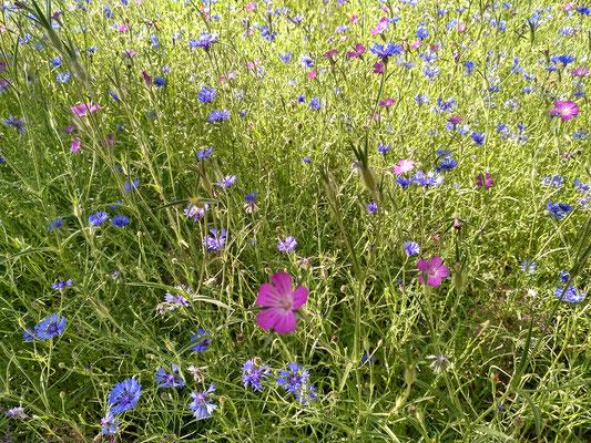 und immer wieder wilde Blumen