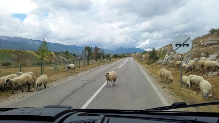 in Jajce waren es Kühe, hier behaupten Schafe ihr Wegerecht