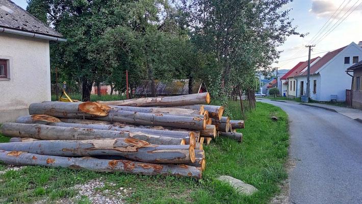 solche Baumstämme stellt die Gemeinde zur Verfügung für die Verarbeitung zu Feuerholz