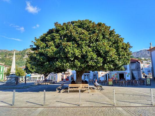 gleich drei dieser grossen Magnolienbäume markieren den Raum auf dem Dorfplatz