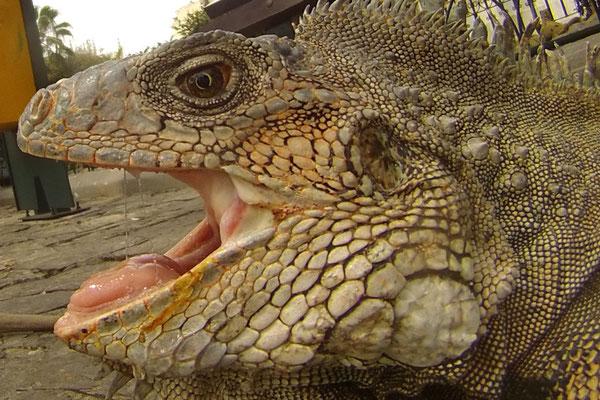 Iguane à Guayaquil