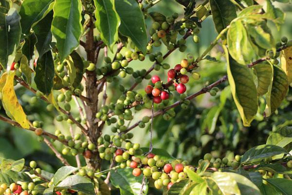 Du café (Les grains sont dans les fruits)