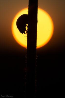 Marienkäfer vor der Sonne, aufgenommen am Rand eines Weizenfelds
