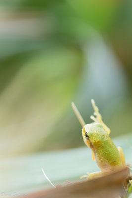 Junger Laubfrosch