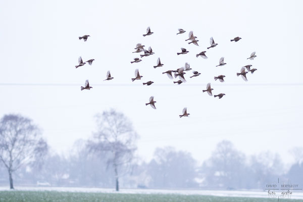Winter's flock (105mm)