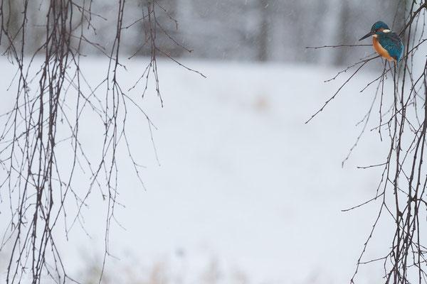 Eisvogel am Feldgießgraben, der als Ausgleich für den Wasserstand der Singold geschaffen wurde
