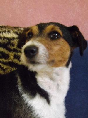 Jack Russell Terrier nach dem Trimmen