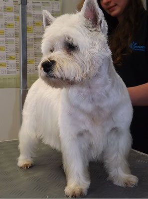 West Highland White Terrier beim Frisieren