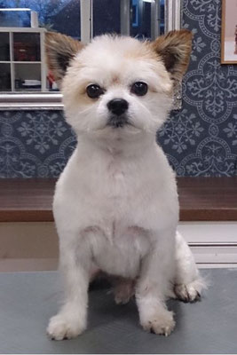 Chihuahua-Mix