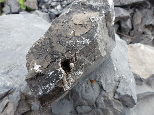 Boule blanche de strontianite à l'intérieur d'un céphalopode trouvée par Bruno Carpentier