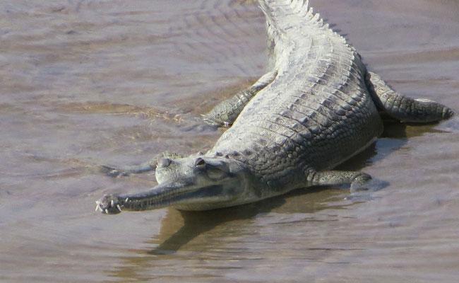 Der Gangesgavial ist stark gefährdet und lebt nur noch im Norden Indiens und in Nepal. Er frisst ausschliesslich Fische.