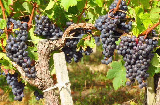 Bald beginnt die Traubenlese im Bordeaux.