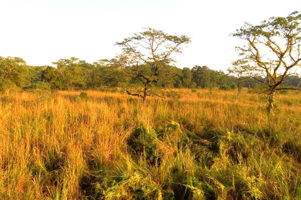 Im Herbst steht das Elefantengras sehr hoch. Nashörner können unvermittelt auftauchen.