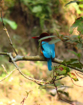 Kingfisher, Beas Lieblingsvogel.