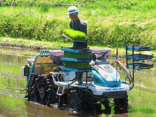 Die Reisschösslinge werden mit kleinen Traktoren gesetzt.