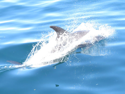 Dolphin am Boot