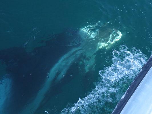 Dolphin schwimmt mit