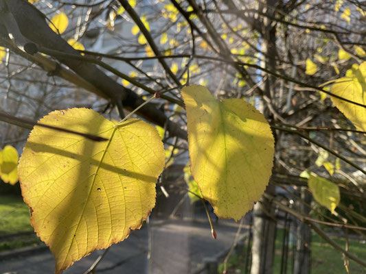 Les feuilles jaunes.