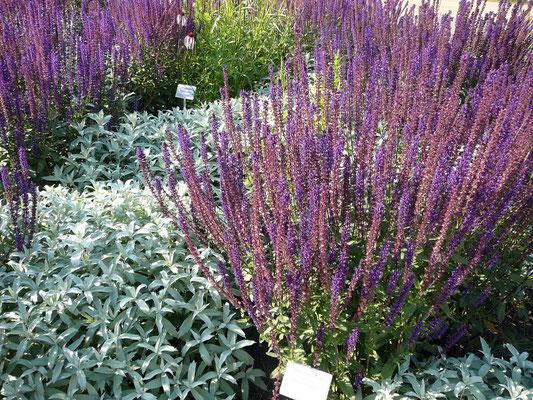 Graulaubige Pflanzen, Salbei