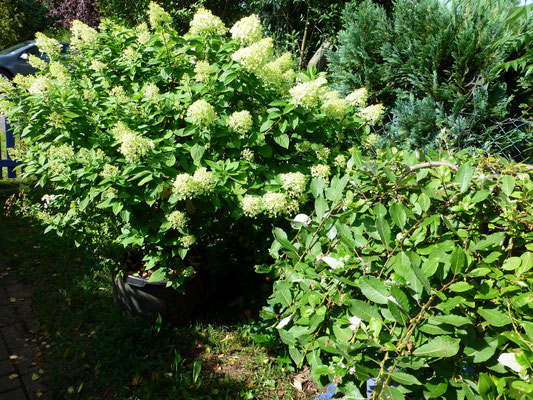 "Hortensie ""Limelight + Weide"