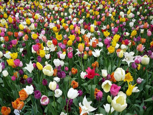 Tulpen-Meer