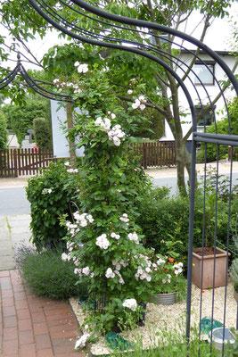 Rosenbögen mit Perennial Blush