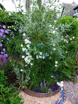 Blaues Kreisbeet mit weißen Glockenblumen