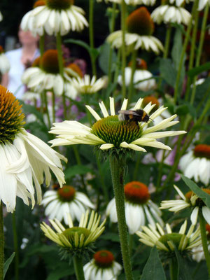 Echinacea, Weiß
