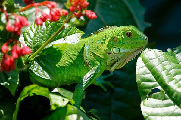 Bel iguane vert pour le moment