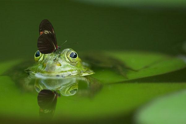 La grenouille verte et le papillon