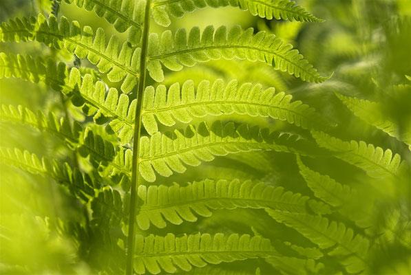 Au vert sous les fougères