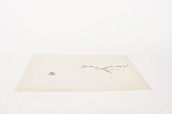il camaleonte e la mosca, 2019, scratch on early 20th-century scienti c illustration, paper dust, glue and metal wire, 16x24x1,5 cm