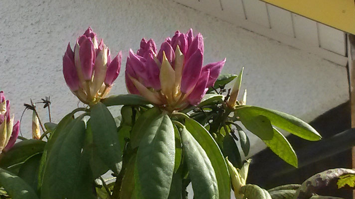 BnB Traumhaft Rhododendron