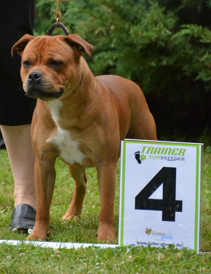 Gamecelt Revelation (breeder M Finkel (GB))  junior class - excellent 4/10.