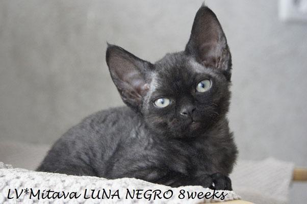 Mitava LUNA  NEGRO 8 weeks