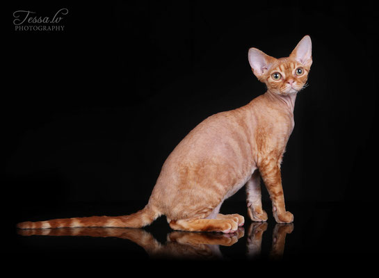 red devon rex LV*Mitava Christopher Robin